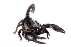 Scorpions. A picture of scorpions and venomous animals Royalty Free Stock Photos