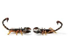 Scorpions Royalty Free Stock Image