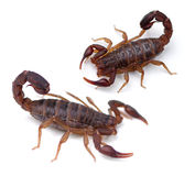 Scorpions. Southern Unstriped Scorpion (Vaejovis carolinianus) on a white background Royalty Free Stock Photography