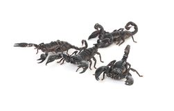Free Scorpions Royalty Free Stock Photography - 8698997