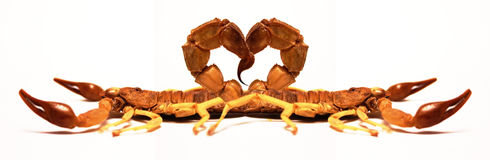 Scorpions in Love. Twi scorpions form a heart with their stings Royalty Free Stock Images