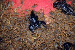 Scorpions at Qinping Market, Guangzhou, China Royalty Free Stock Photos