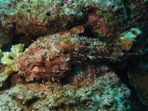 Scorpionsfish Photos stock