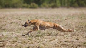 Scorrere addestramento Funzionamento del cane di piccolo levriero inglese sul campo Immagini Stock Libere da Diritti