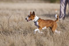 Scorrere di formazione Funzionamenti dell'impronta di cane di Basenji attraverso il campo Immagine Stock
