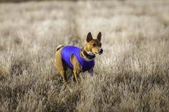 Scorrere di formazione Funzionamenti dell'impronta di cane di Basenji attraverso il campo Fotografia Stock