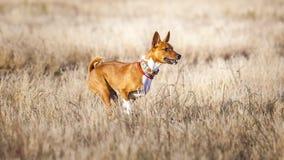 Scorrere di formazione Funzionamenti dell'impronta di cane di Basenji attraverso il campo Fotografia Stock Libera da Diritti