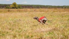 scorrere Funzionamento del cane del levriero italiano attraverso il campo Immagine Stock Libera da Diritti