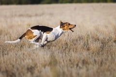 scorrere Il rivestimento estone del segugio dei cani manca del richiamo Immagine Stock Libera da Diritti