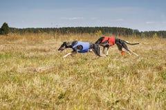 scorrere Levrieri di Horta dei cani che eseguono pista Poro di erbe Fotografia Stock