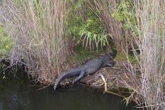 Scorrevole dell'alligatore Fotografie Stock Libere da Diritti