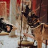 Scortecciamento aggressivo delle guardie del pastore tedesco Foto di arte immagini stock