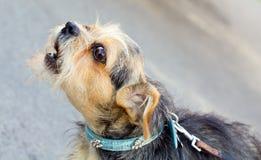 Scortecciamento del cane Immagini Stock