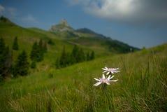 Scorzonera Rosea, beautiful wild flowers on mountain royalty free stock photography