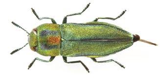 scorzonerae anthaxia Стоковые Изображения