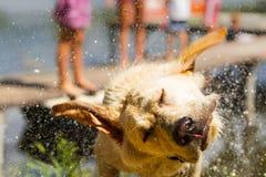 Scossa bagnata del cane il suo testa immagini stock libere da diritti
