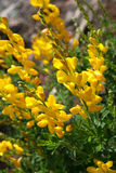 Scotch broom. A bunch of scotch broom Stock Image