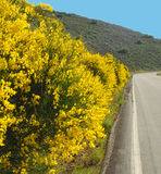 Scotch Broom Royalty Free Stock Images