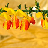 Scotch Broom Cytisus scoparius flower Stock Photography