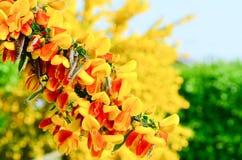 Free Scotch Broom Cytisus Scoparius Flowers Royalty Free Stock Image - 40795566