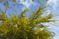 Scotch Broom in full bloom at spring Royalty Free Stock Photography
