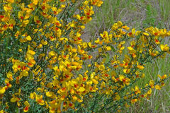 Scotch Broom Royalty Free Stock Photo
