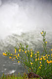 Scotch Broom Plant Blooming in Front of Waterfall Royalty Free Stock Photography