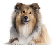 Scotch Collie, 9 months old, lying Royalty Free Stock Photography