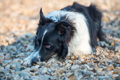 Scotch collie is guilty. Scotch collie is laying down on a stony shore and trying to hide bad conscience Stock Images
