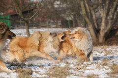Scotch collies playing in winter Royalty Free Stock Photo