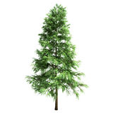 Scotch Fir Tree Isolated. On white Royalty Free Stock Images