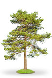 Scotch fir on white. Scots Pine (Pinus sylvestris) isolated on white background Royalty Free Stock Photography