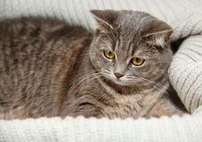 The Scotch Grey Cat is Lying in the Knitted White Sweater.Beautiful Look.Animal Fauna, Stock Images