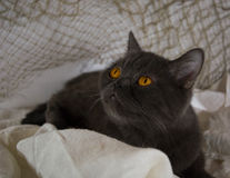 Scotch grey lady-cat Royalty Free Stock Image
