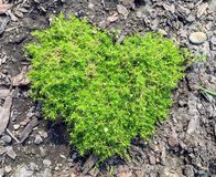 Scotch or irish moss growing in a garden in the shape of a heart stock photos