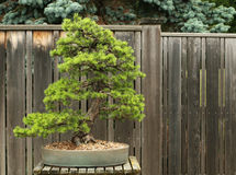 Scotch Pine Bonsai. Tree at Hidden Lake Gardens, American midwest, Michigan, MUS, Lenawee County stock photos