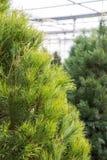 Scotch Pine Christmas tree Royalty Free Stock Photos
