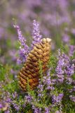 Scotch pine - cones - heather Stock Photo