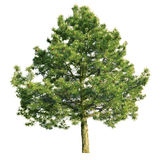 Scotch pine (Pinus sylvestris) Royalty Free Stock Image