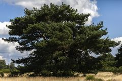 Scotch pine - Pinus sylvestris. In the moor Stock Photography