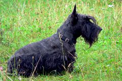 Scotch terrier 01 Stock Photos