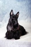 Scotch terrier 07 Royalty Free Stock Images