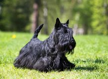 Scotch terrier on green grass Stock Photography