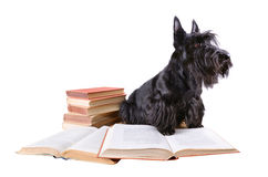 Scotch terrier with books Royalty Free Stock Photo