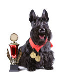 Scotch terrier with golg cup. Winner dog with cup and gold medals on a white background Stock Photography