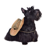 Scotch terrier in hat. Sitting scotch terrier in hat on a white background stock images