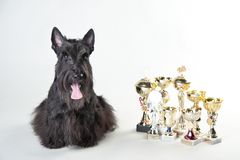 Scotch terrier with medals and cups