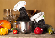 Scotch terrier puppies. Scotch terrier kitchen boy in a saucepan, cook puppies Stock Images