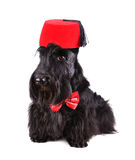 Scotch terrier Royalty Free Stock Photos