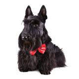 Scotch terrier Royalty Free Stock Images